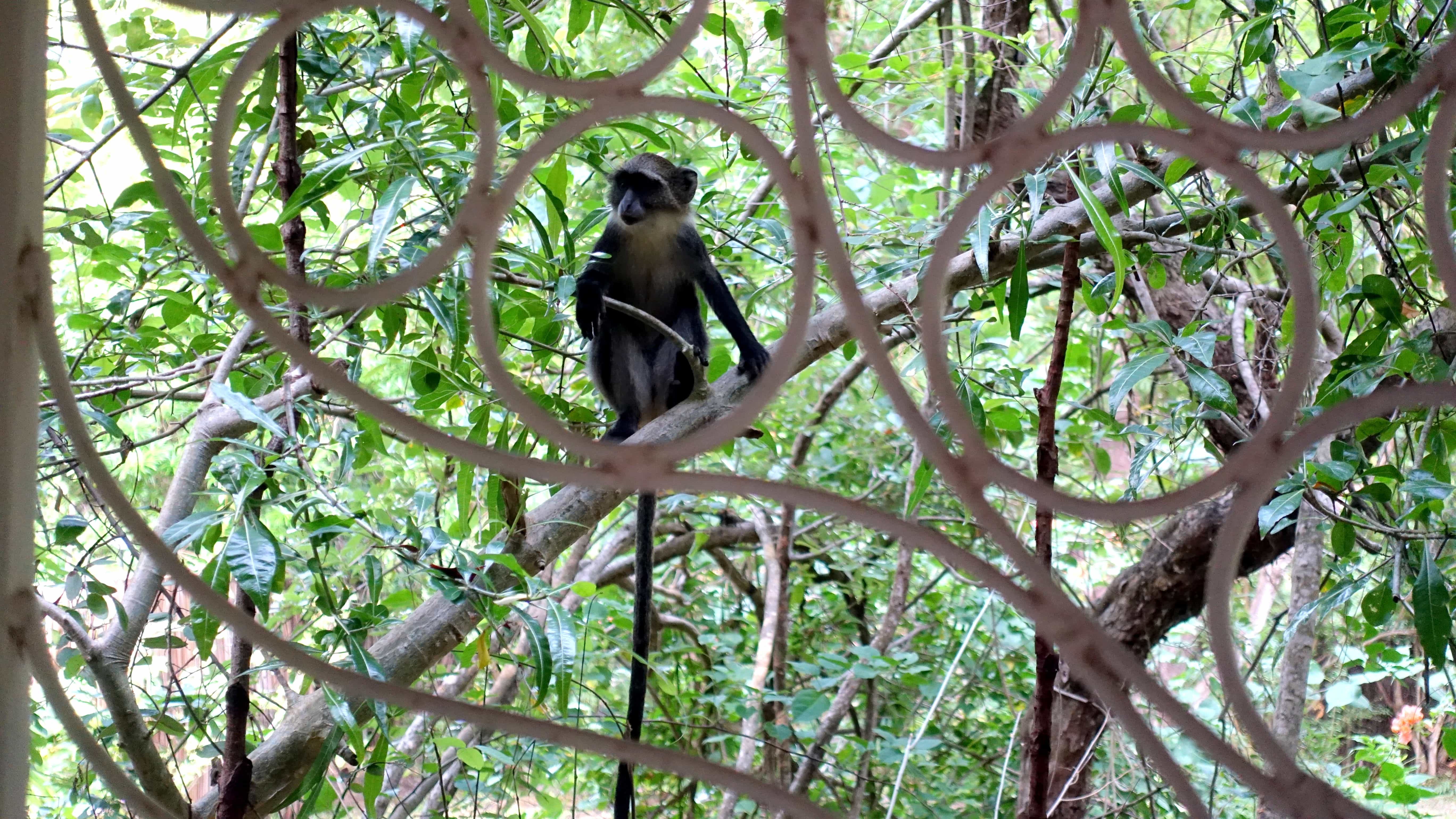 Affe in Watamu Kenia Afrika