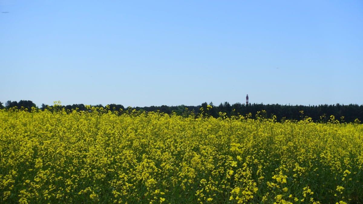 Leuchtturm hinter dem Rapsfeld auf Amrum
