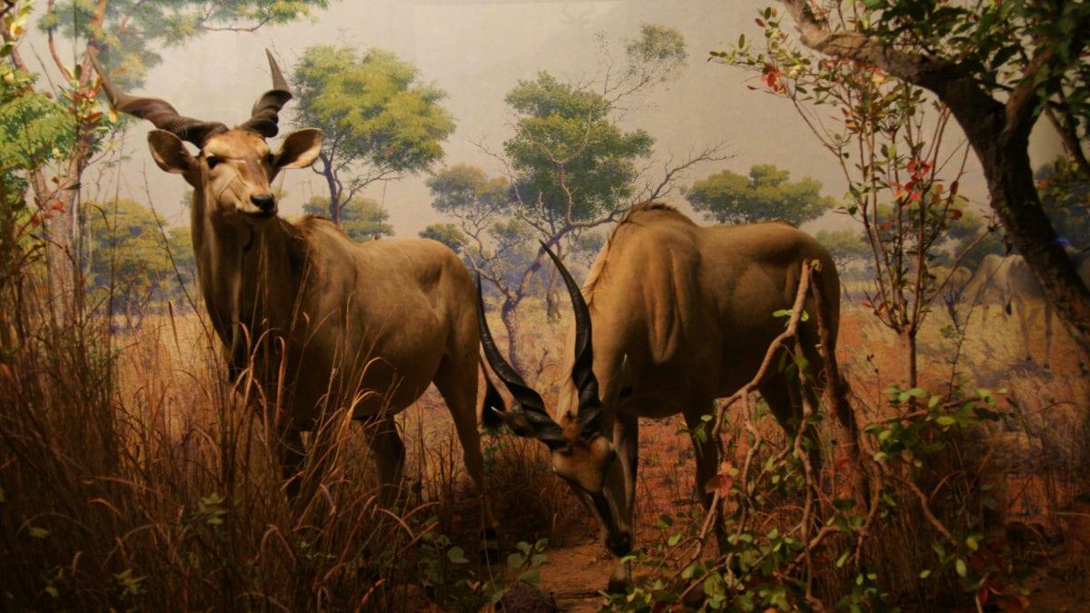 Antilopen New York Natural History Museum