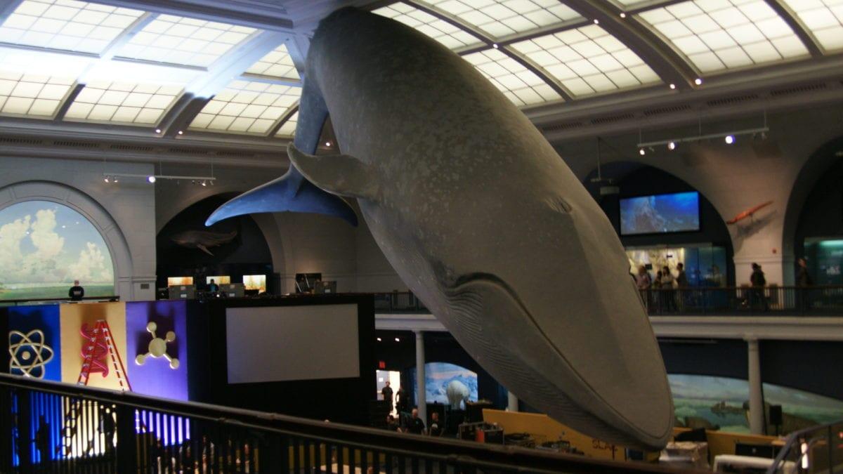 Blauwal New York Natural History Museum