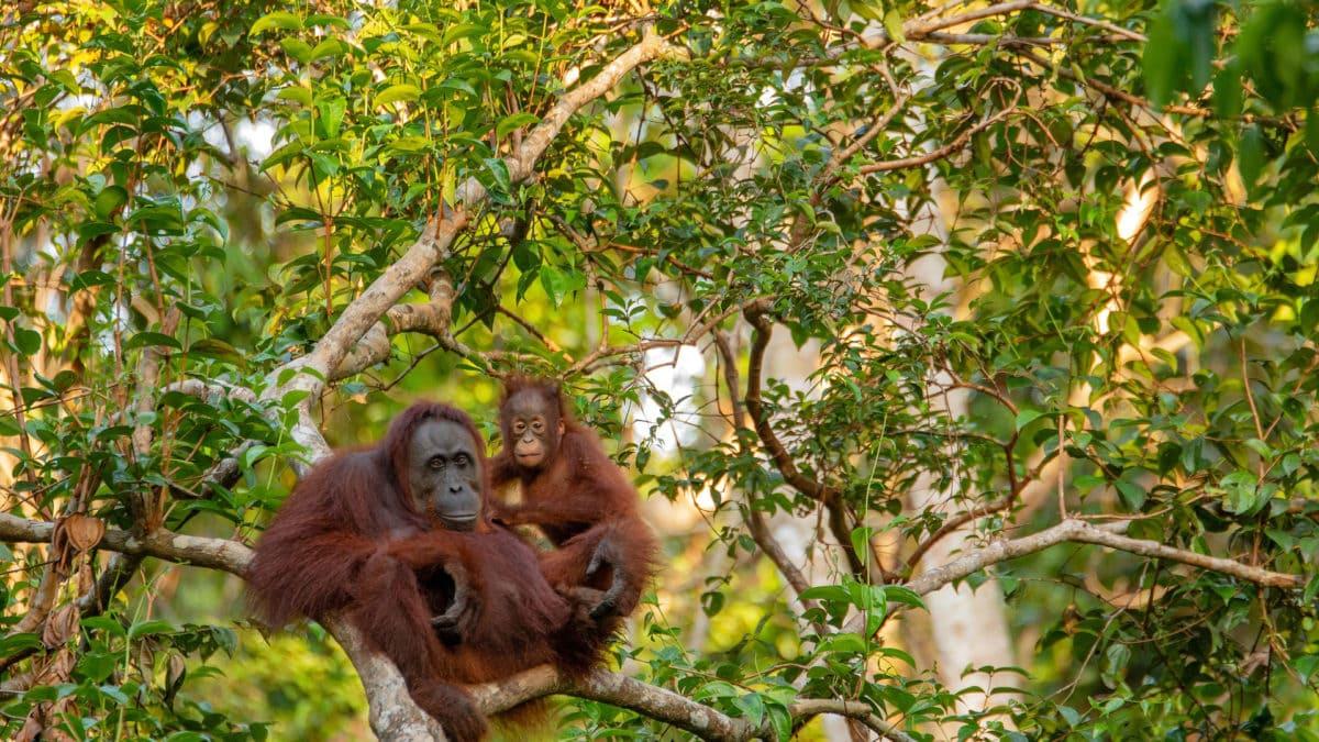 Orang-Utans auf Borneo im Dschungel