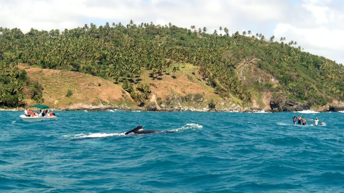 Mehrere Boote umkreisen den Wal