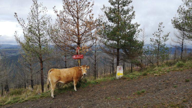Eine Kuh auf dem Camino Primitivo weist uns den Weg nach Grandas de Salime