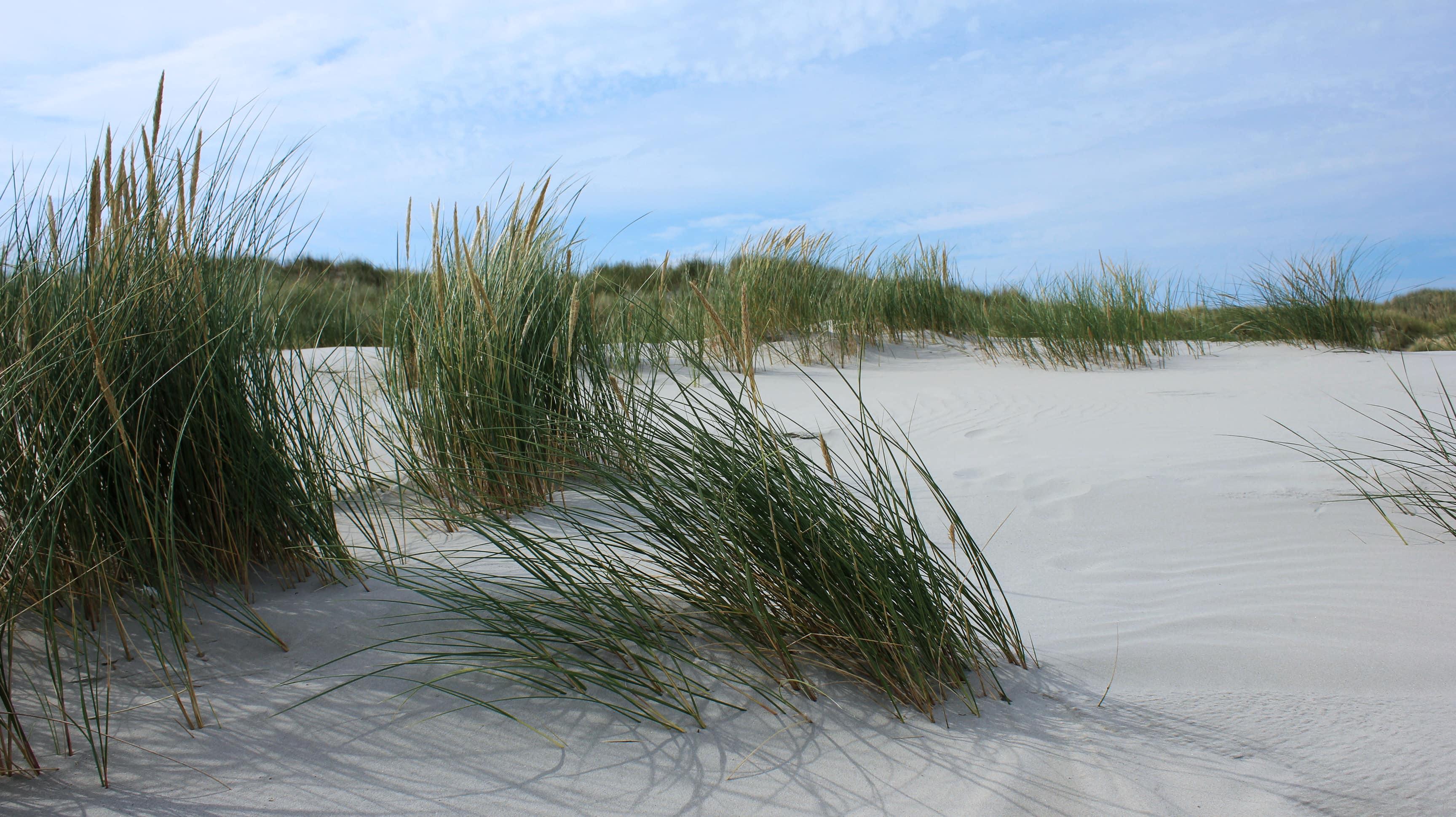 Gras schützt die Dünen auf Juist ganz natürlich.