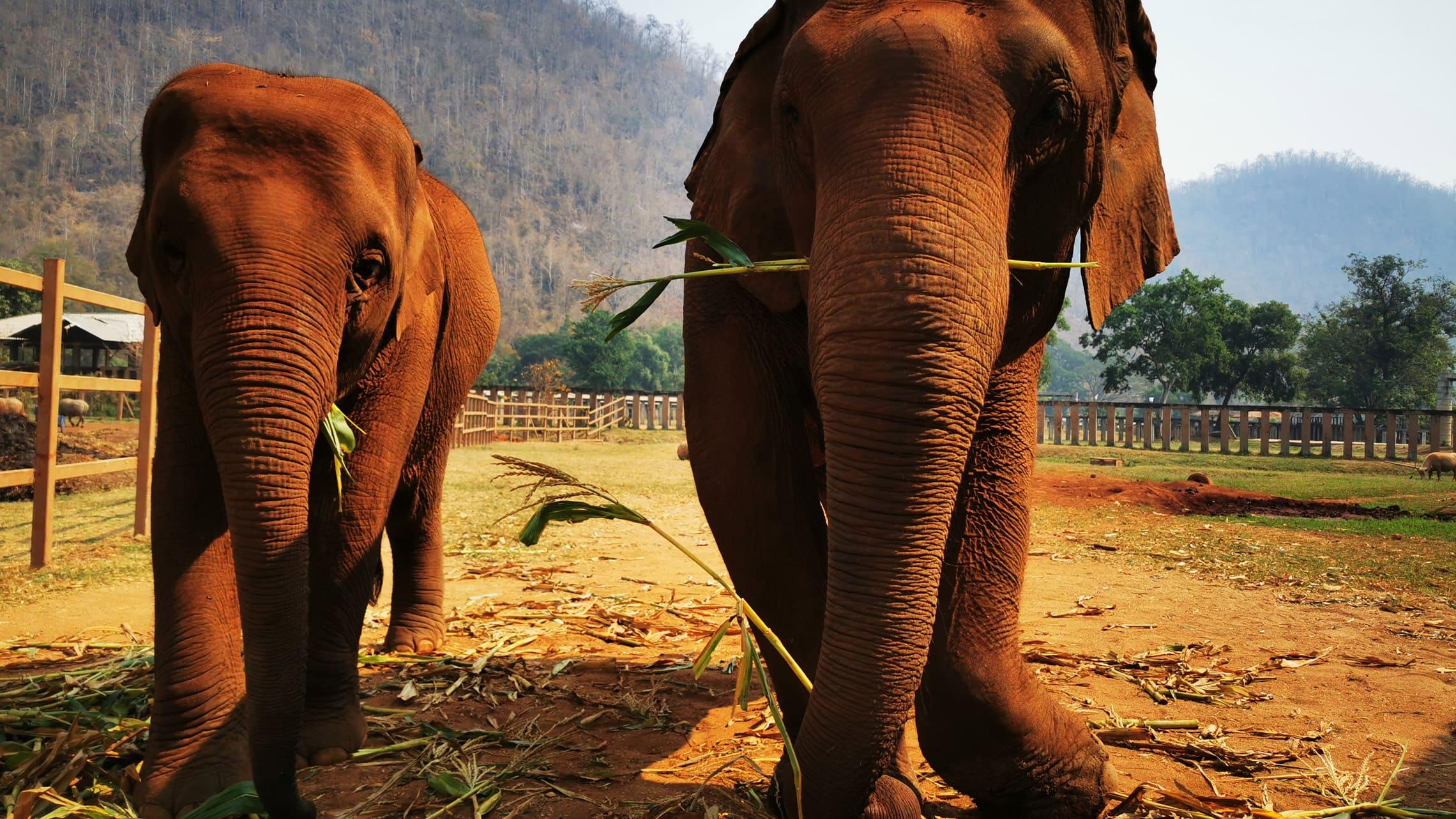 Sollten wir ein Elefantencamp besuchen oder nicht? Im Vorfeld habe ich mal wieder lange recherchiert, welche Organisation für uns infrage käme, denn wir wollten auf keinen Fall auf den Elefanten reiten oder mit ihnen baden oder in irgendeiner sonstigen Form Kunststückchen von ihnen sehen.
