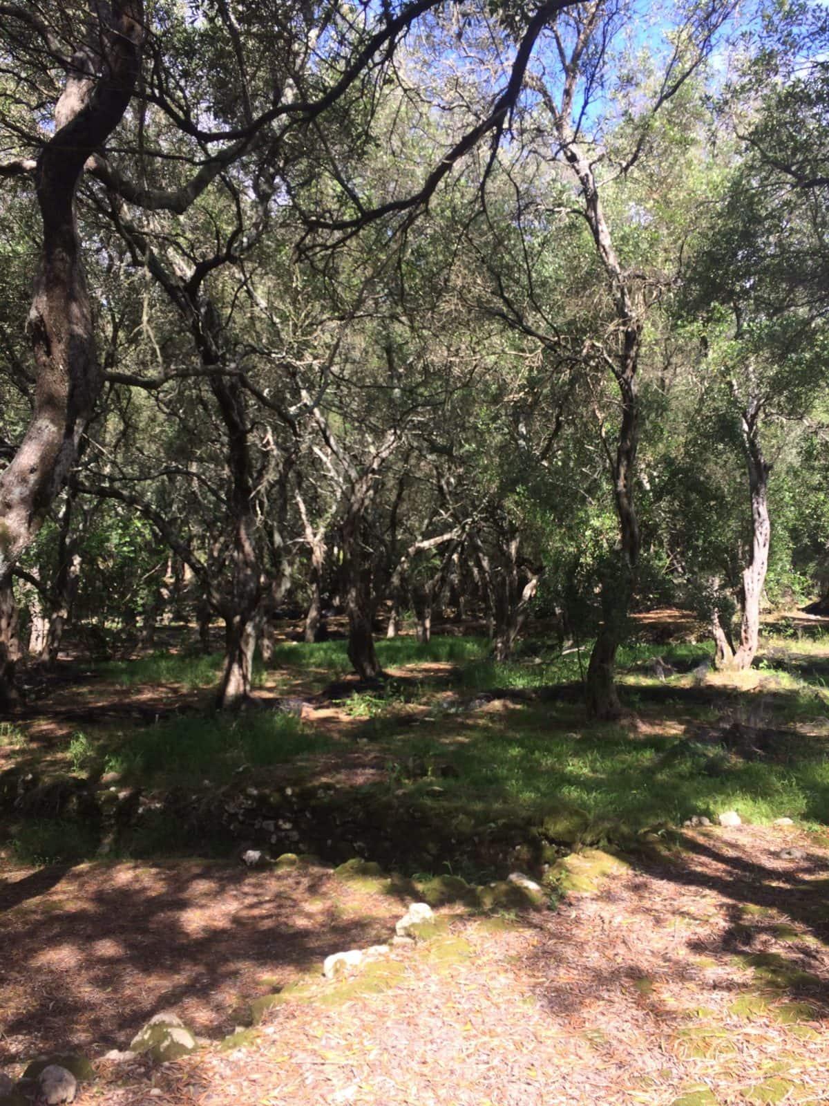korfu-oliven-griechenland
