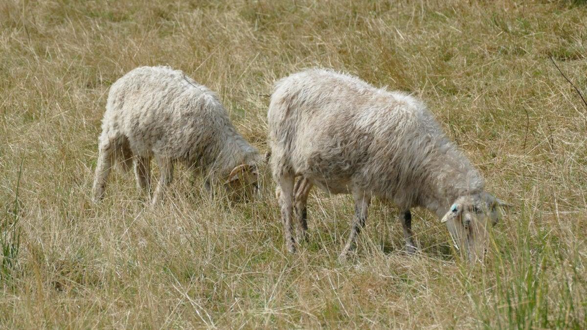 Schafe grasen in Haithabu auf einer Wiese