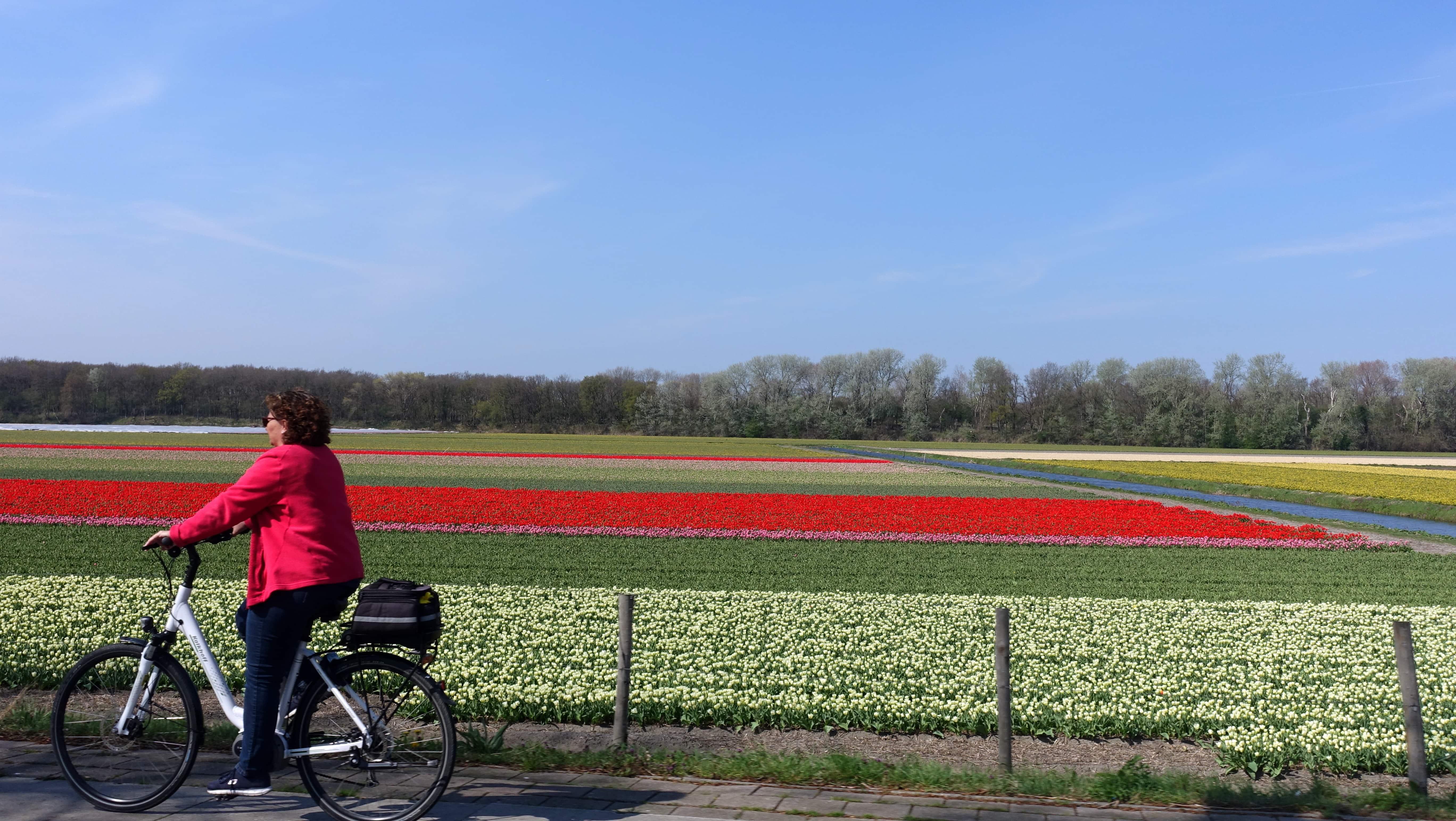 In Holland lassen sich die Tulpen im Frühjahr auf einer Fahrradtour bestens erkunden