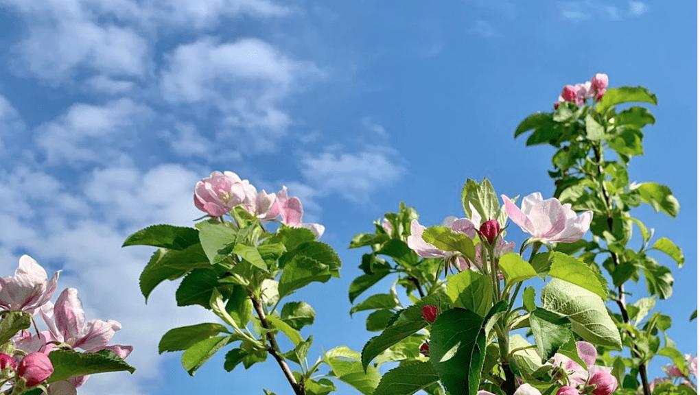 Blühender Apfelbaum vor blauem Himmel