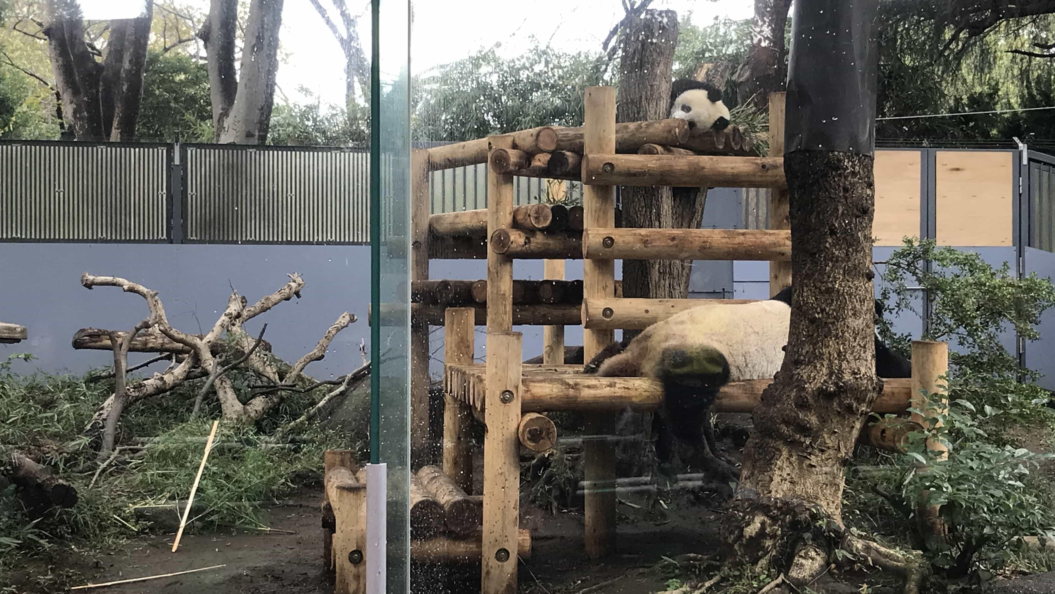 Pandabären im Ueno Zoo in Tokio