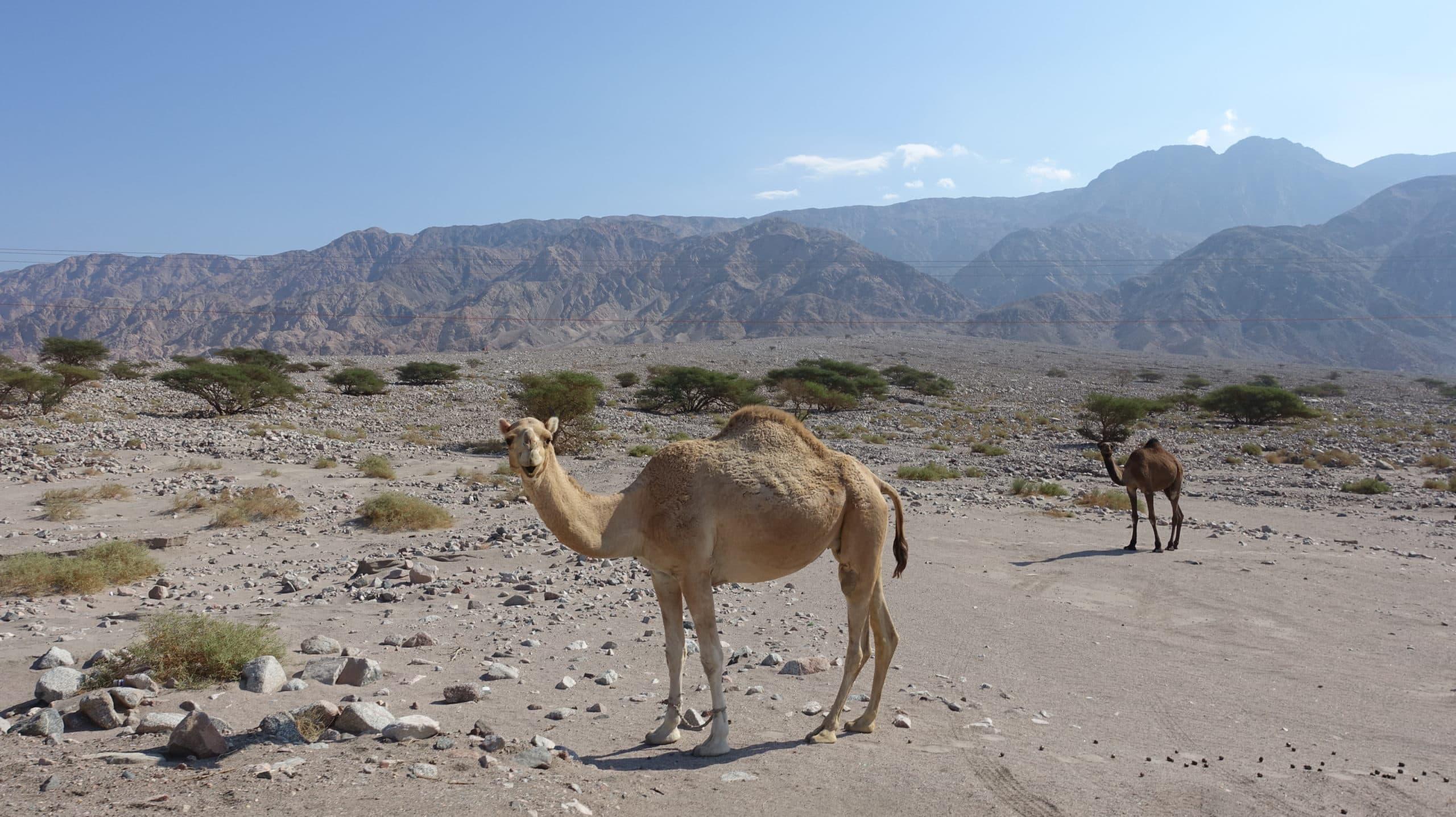 In Jordaninen kann man am Wegesrand schon mal überraschend Kamele antreffen.