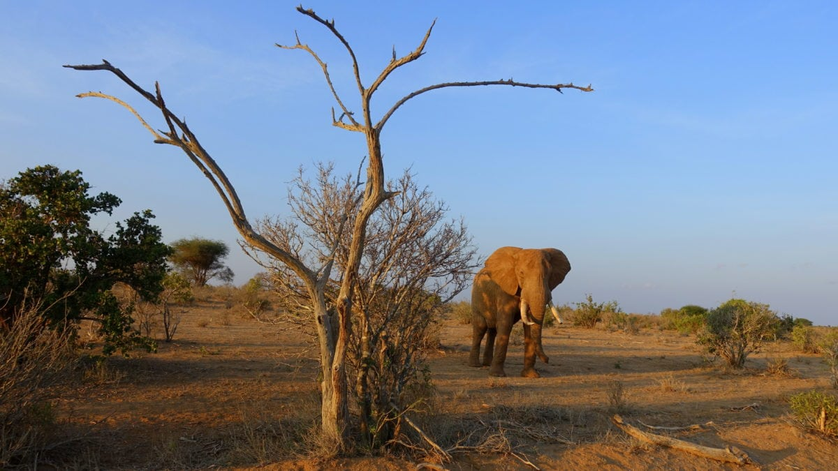 Elefant im Tsavo East National Park in Kenia