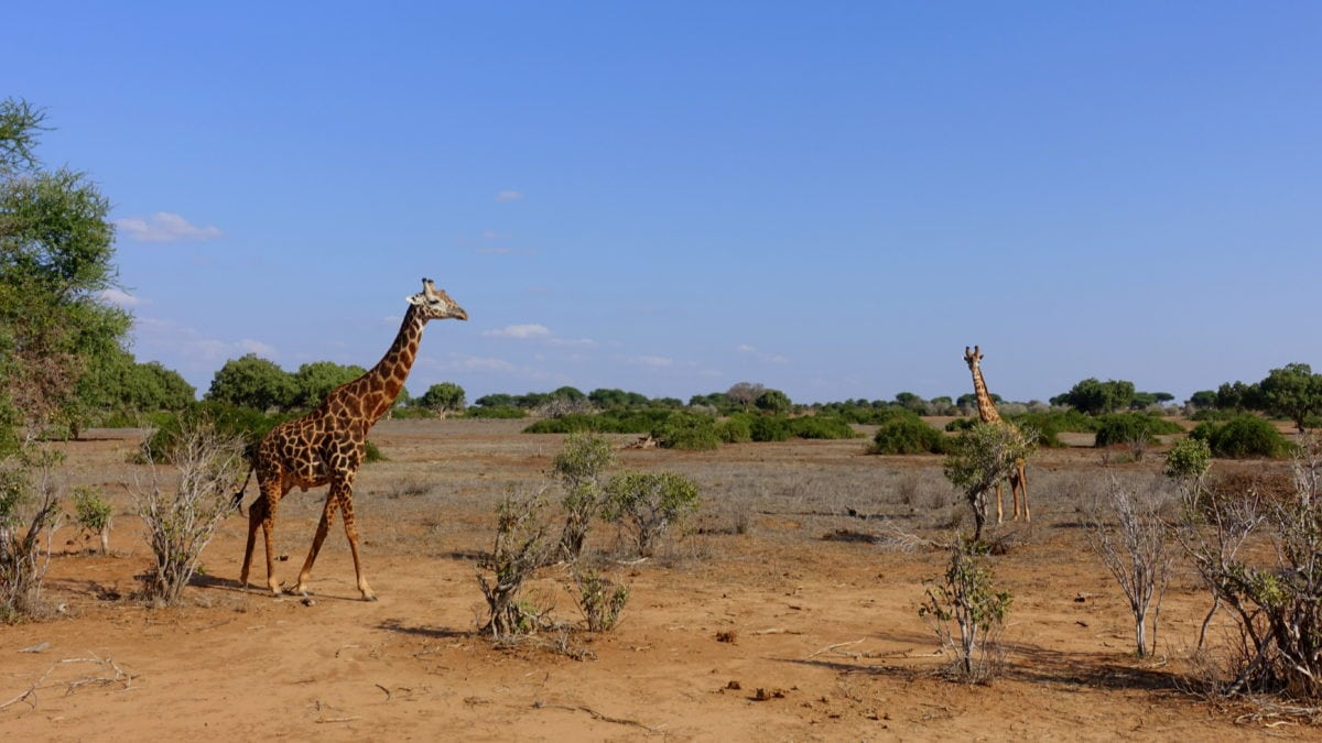 Giraffen im Tsavo East National Park in Kenia