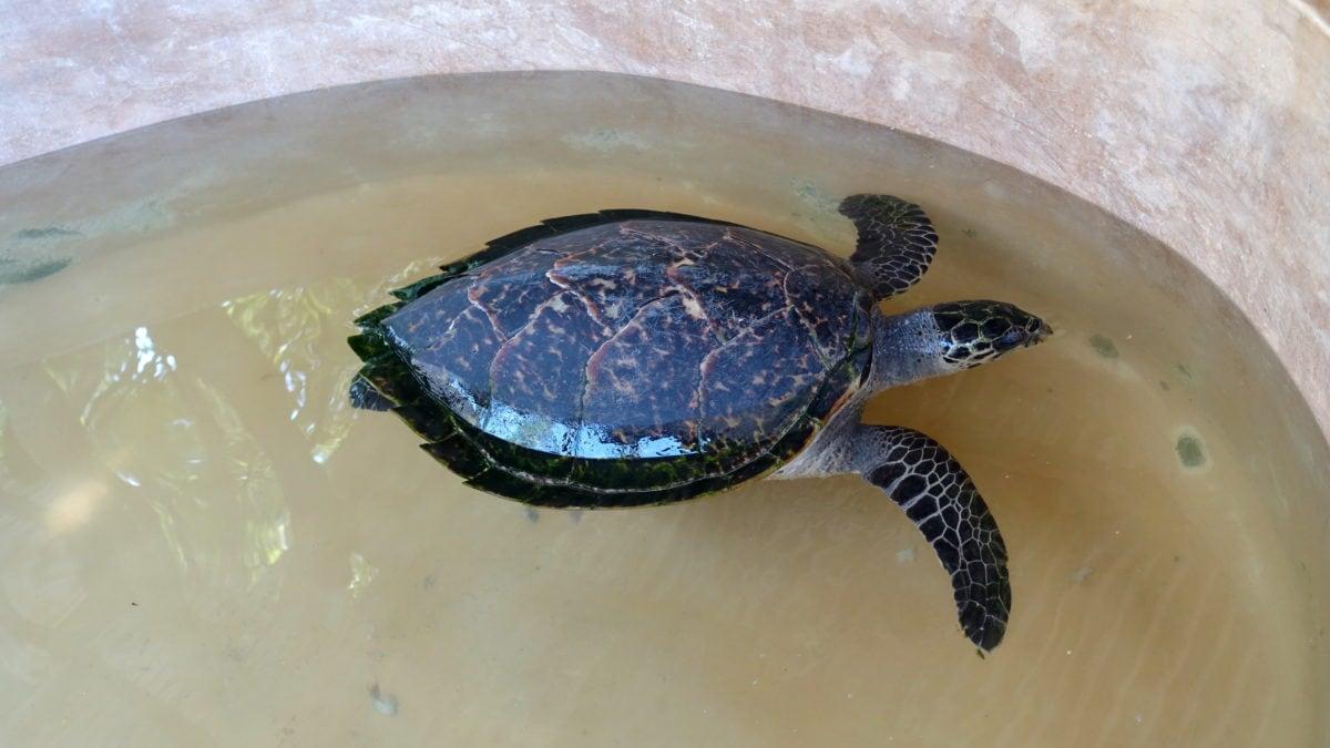 Schildkröte Elli im Local Ocean Trust: Watamu Turtle Watch