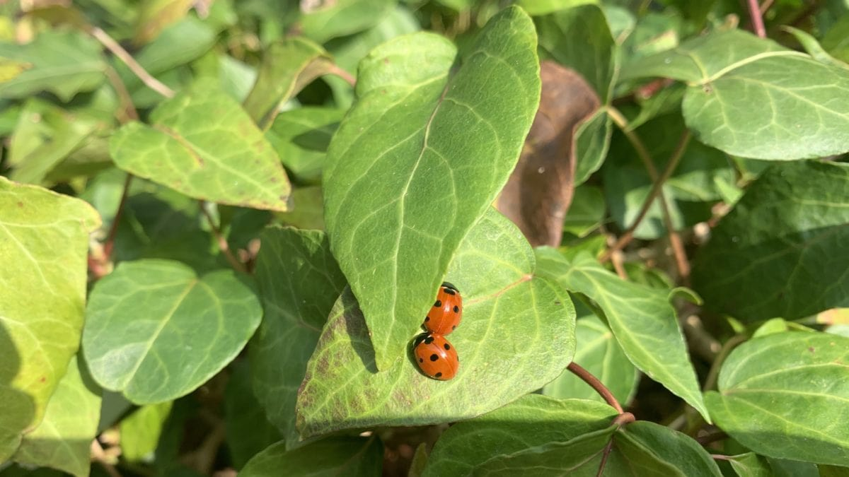 Zwei Marienkäfer auf einem Blatt