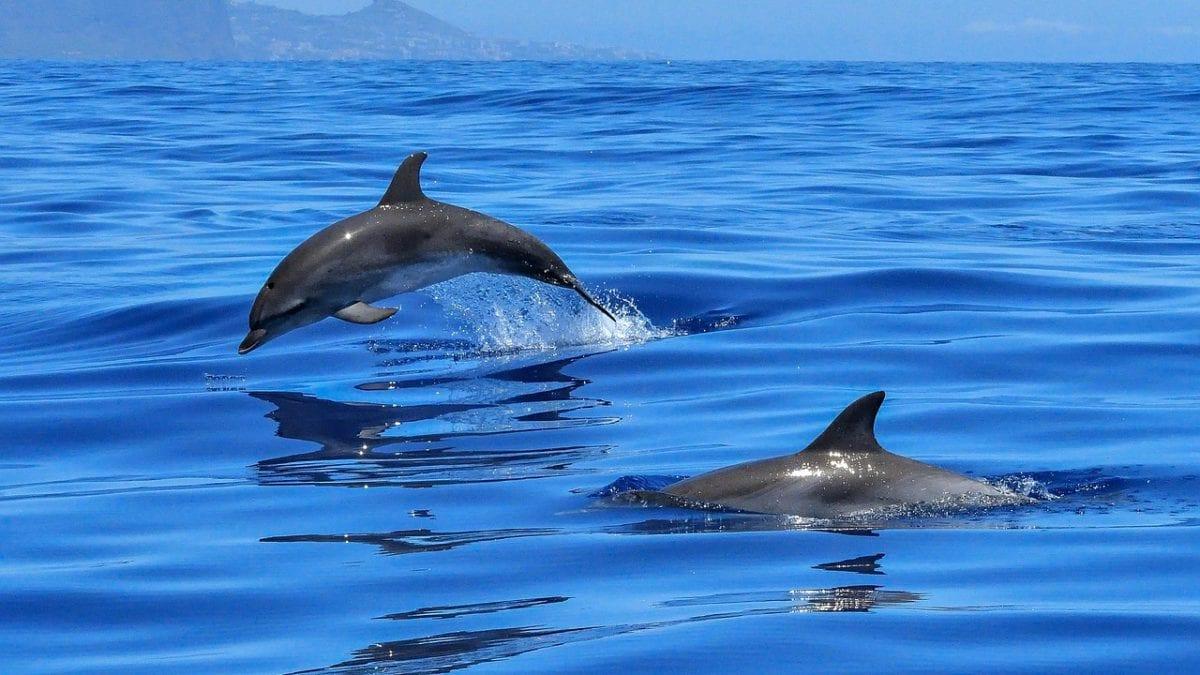 Delfine vor der Westküste von Mauritius