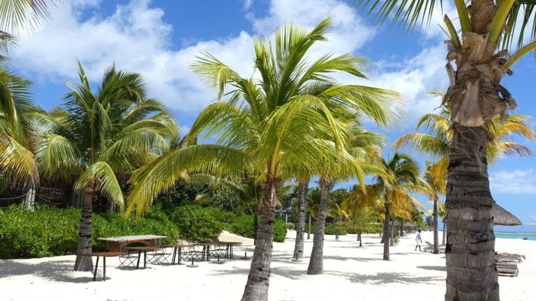 Palmen in Le Morne auf Mauritius
