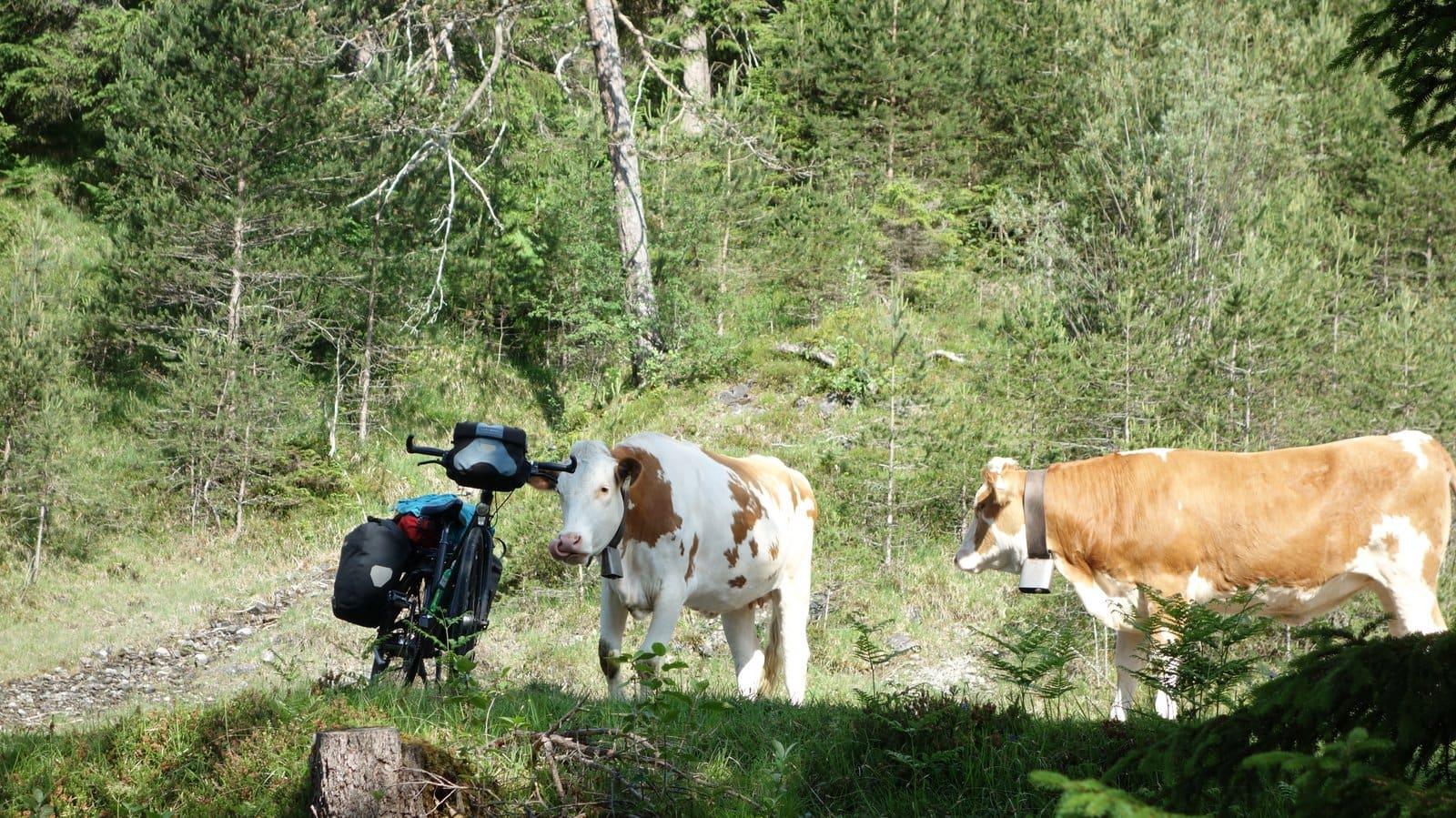 Miss Move Doro Staub von Kühen bedroht