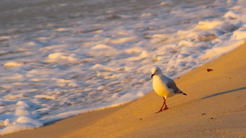 Eine Möwe spaziert im Sonnenuntergang am Strand entlang. Reisen mit Abstand ist in Schleswig-Holstein nämlich möglich.
