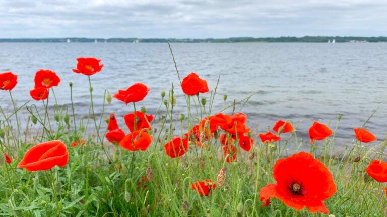 Mohnblumen in Schauende an der Ostsee