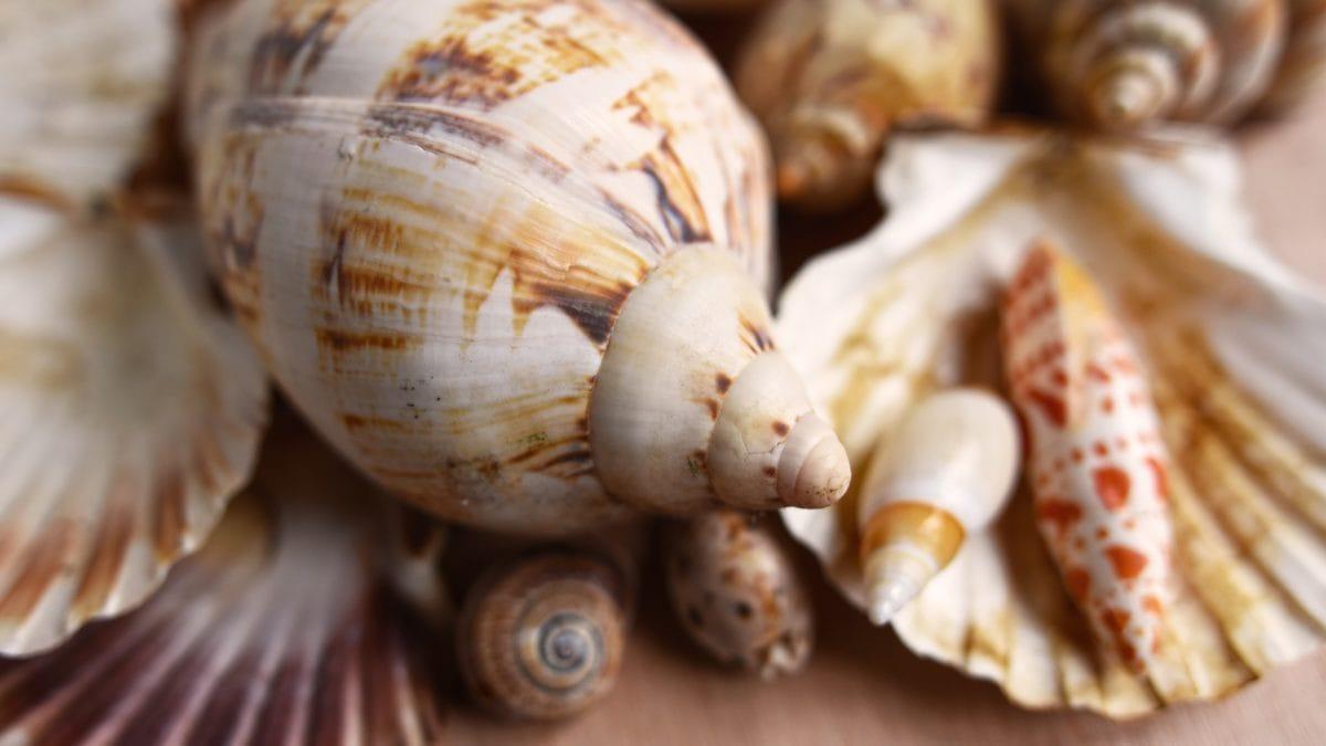 Muscheln verschiedener Form und Größe liegen übereinander