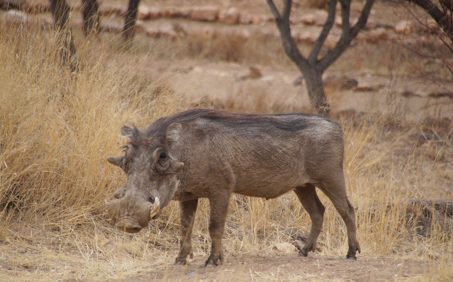 Auf Safari in Namibia nahe Windhoek in der Onjala Lodge: Ein Warzenschwein
