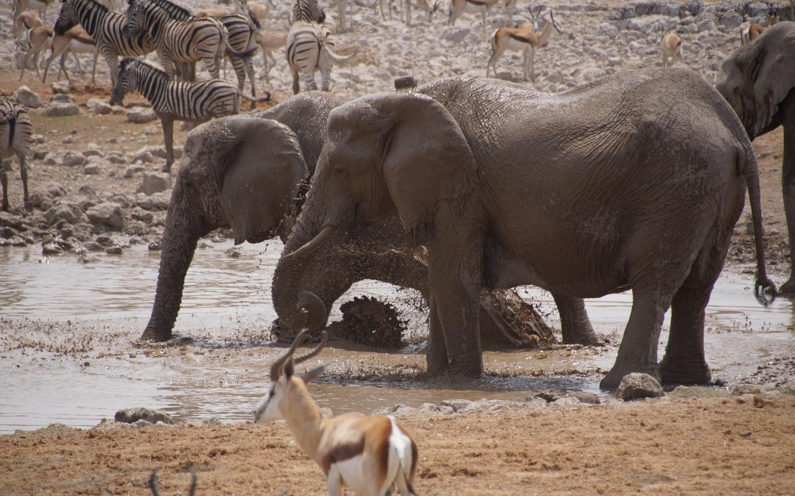 Elefanten im Wasserbad im Etosha Nationalpark