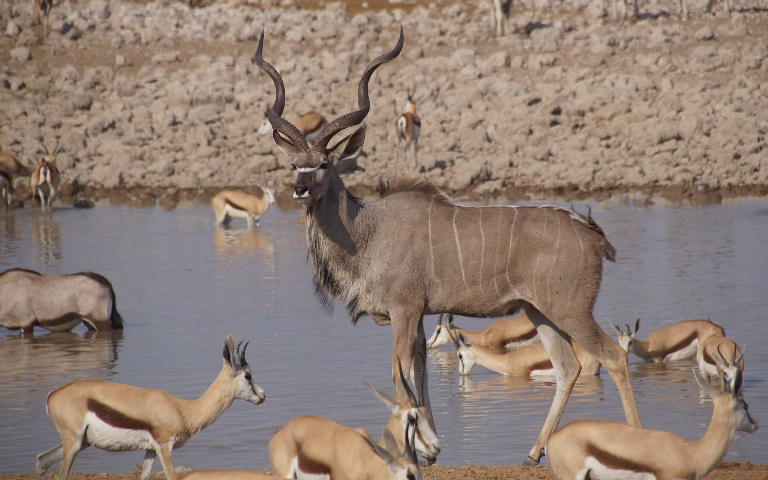 Springbock im Etosha-Nationalpark in Namibia