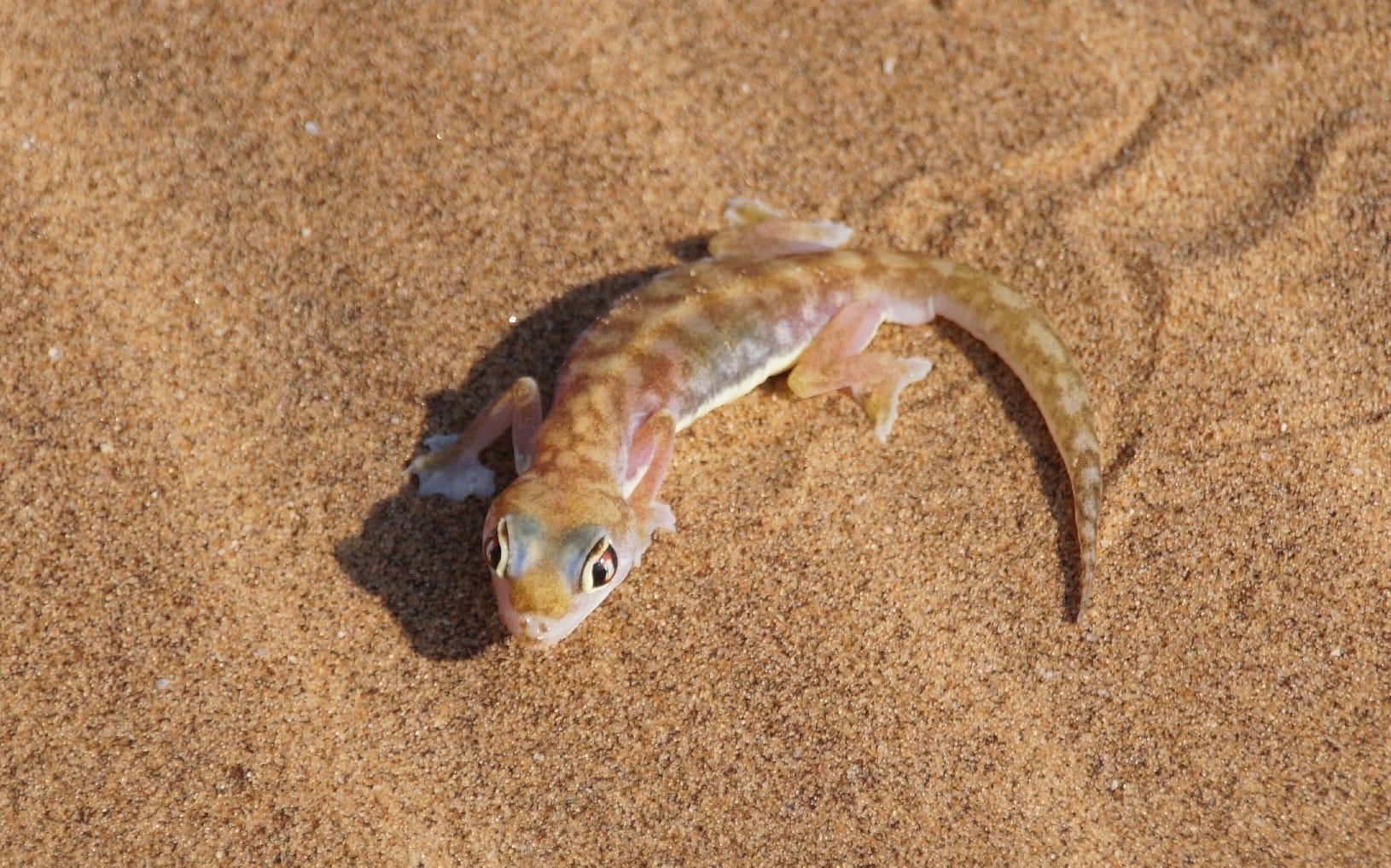 Ein Gecko in der Namib Wüste in Namibia
