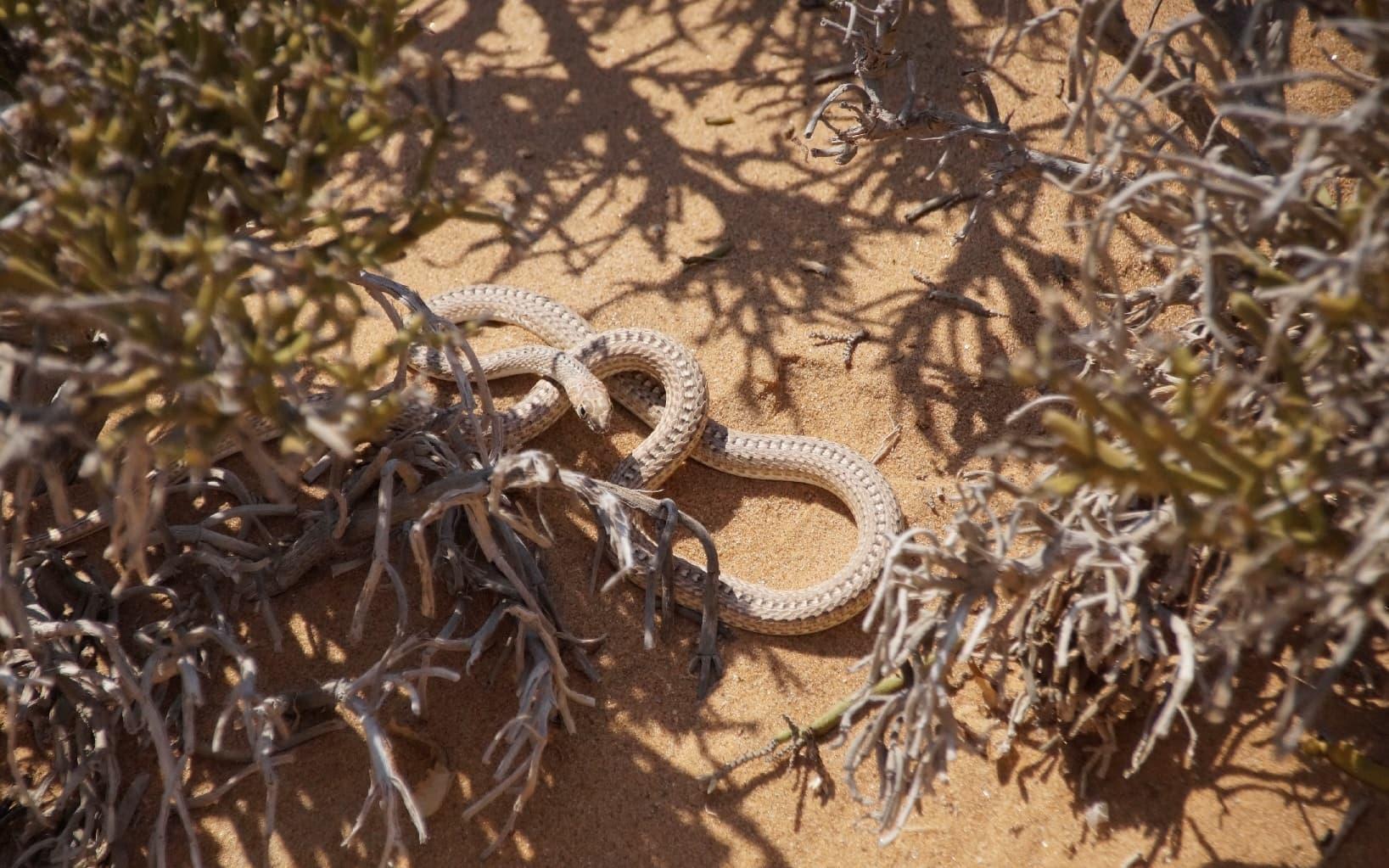 Eine Schlange in der Namib-Wüste in Namibia