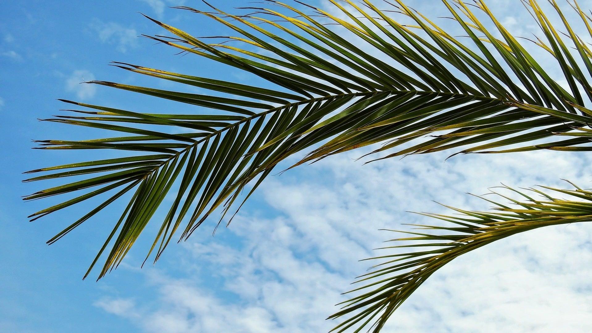 Palmenblätter vor blauem Himmel