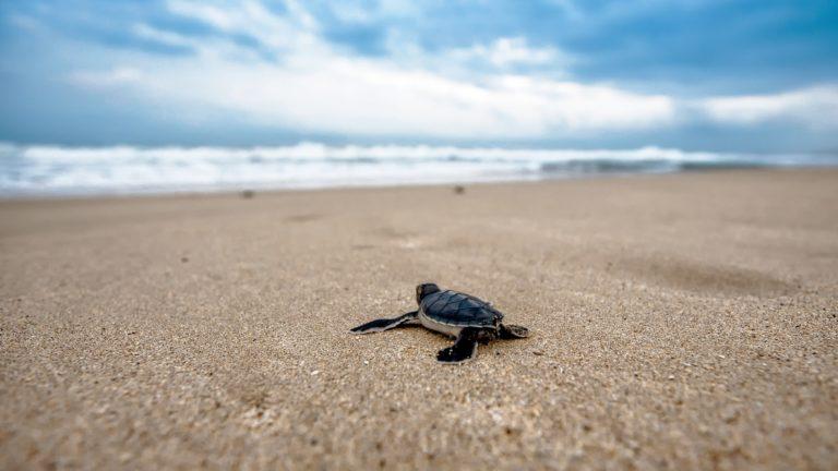Schildkröte vor dem Aufbruch auf ihre Reise ins Meer