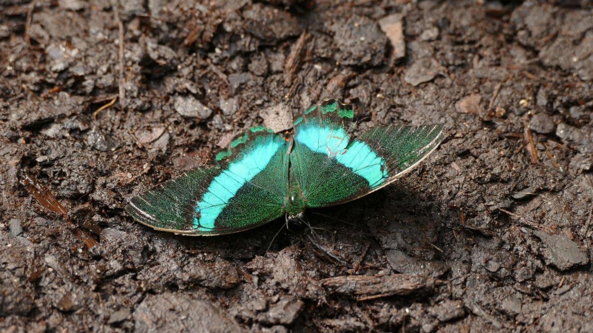 Schmetterling in Petaloudes