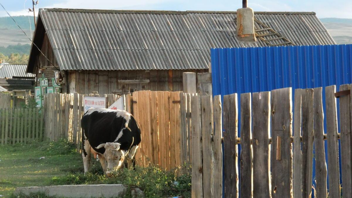 Eine Kuh auf der Straße auf Olkhon Island im Baikalsee in Russland