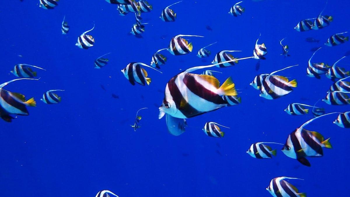 Fische vor Mauritius
